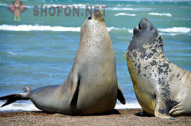 40++ Anjing laut gajah utara terupdate